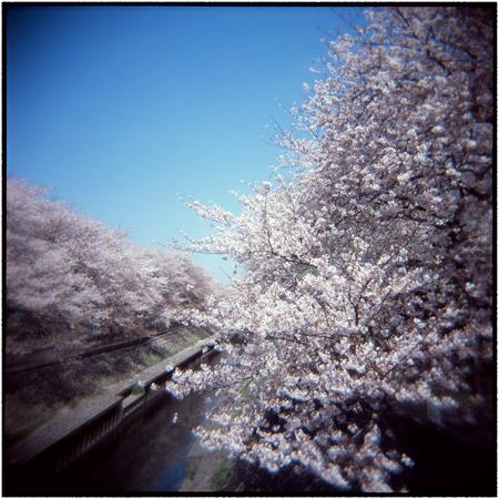 HOLGAで撮った桜の写真